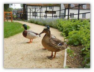 Ducks in Diamond Jubilee Garden